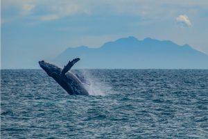 Observar baleias na costa brasileira